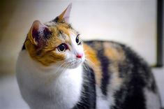 Siamese Cats Facts Fascinating Facts (And Cute Pictures!) of Calico Cats - Learn fascinating facts about calico cats, including photos, the genetics behind this color combination, and common folklore and traditions. Grey Tabby Cats, White Cats, Bengal Cats, Siamese Cats, Cute Kittens, Cats And Kittens, Kitty Cats, Ragdoll Kittens, Cats 101