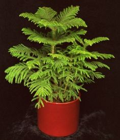 Norfolk Island Pine.  Really easy to grow.  I picked up a tiny one Christmas, many years ago, and it's outgrown the space in the house.