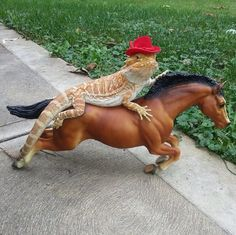 This bearded dragon riding on horse and looking excellent Cute Funny Animals, Funny Animal Pictures, Cute Baby Animals, Funny Cute, Hilarious, Random Pictures, Les Reptiles, Cute Reptiles, Reptiles And Amphibians