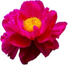 transparent-flowers:  Peony. (x).