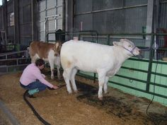 Being groomed for the Fort Worth Stock Show. I went to this every year when I was growing up, even in the nastiest of late winter weather! Fort Worth Stock Show, Show Cattle, How To Show Love, Show Horses, Livestock, Rodeo, Texas, Weather, Events