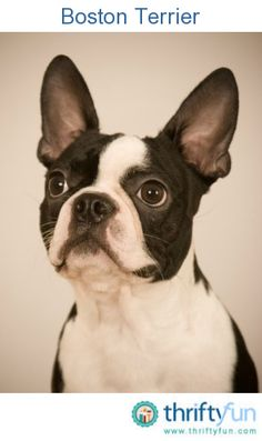 This guide contains Boston Terrier - breed information and photos. Affectionate and loving, this dog is determined, and makes an excellent companion.