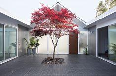Japanese maple(Acer palmatum)   Midcentury Patio by Klopf Architecture