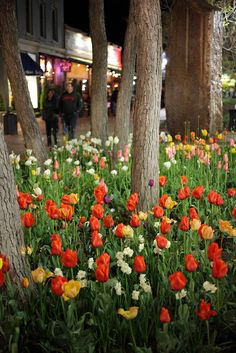 Spring Tulips on Pearl Street, Boulder University Of Colorado, Colorado Usa, Boulder Colorado, Wrong Planet, Western Landscape, String Cheese, Mountain High, Street Mall, Spring Has Sprung