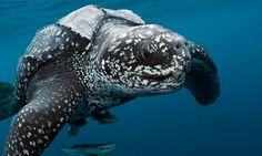 A male leatherback sea turtle