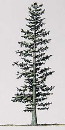 Firs (Abies), Pacific Northwest native trees