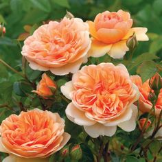 """""""Port Sunlight"""" Shrub with beautiful 3.5"""" apricot blooms. Vigorous bush. The beauty makes up for it boasting 41+ petals in each apricot blend bloom."""
