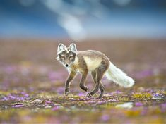 Arctic Fox Picture -- Svalbard Photo -- National Geographic Photo of the Day