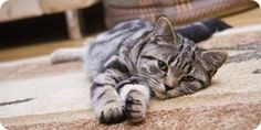 How to clean CAT SPEW off CARPET. Note: Instead of commercial cleaners, use enzymatic biological stain remover such as natural BioKleen Bac-Out or a no-rinse incontinent wash (Bard Hygiene 1), spray bottles are easiest to use.