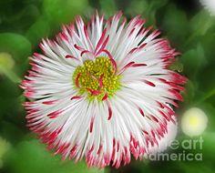 Closeup Of White And Pink Habenera English Daisy Flower Fine art print
