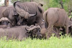 Group of African Buffalo. G Cooke - A large and powerful bovine, the African Buffalo reaches shoulder heights of up to 1.5 m and a mass of 750 kg. Both sexes have horns, those of the bulls are characterised by a heavy boss and upward curved horns. WITH SOUND