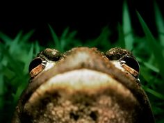 Photo: American bullfrog looking up