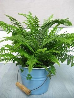 Fertilizing Boston Ferns: During the summer, you can also supplement the monthly Boston fern fertilizer with slow release fertilizers. Again, when fertilizing Boston ferns, you will want to administer the slow release fertilizer at half rate recommend on the fertilizer container.