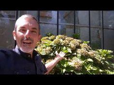 Potare l'ortensia ecco quali sono i rami che portano a fiore - YouTube Rami, Green, Youtube, Bricolage