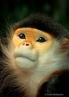 Douc Langur Monkey - one of the 25 most critically endangered primates Primates, Mammals, Funny Monkey Pictures, Animal Pictures, Animals And Pets, Baby Animals, Cute Animals, Photos Singe, Beautiful Creatures