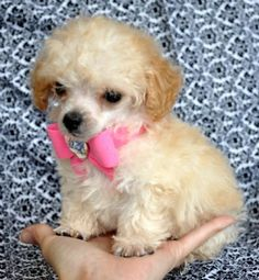 Tiny Teacup Poodle<br>Adorable Apricot at 9 weeks<br>Stunning little baby face! Teacup Poodle Puppies, Tiny Toy Poodle, Tea Cup Poodle, Lap Dogs, Dogs And Puppies, Toy Puppies, Red Poodles, Dog Grooming Supplies, Best Dog Food