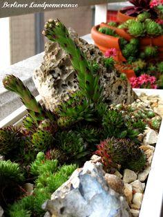 Steingarten im Balkonkasten: Sempervivum  Stone garden on the balcony: Sempervivum