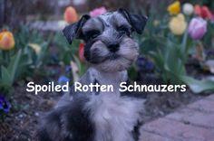 teacup   toy   mini blue merle schnauzer. photo taken by spoiled rotten schnauzers