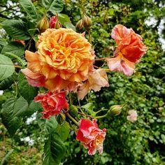 Orange red rambler in the impressive gardens of estate Verhildersum. Ture Love, Orange Red, Netherlands, Gardens, Rose, Nature, Flowers, Plants, Beautiful