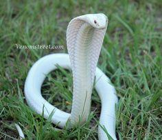 White Cobra. Incredibly beautiful serpent. The animal manifestation of universal divine feminine and the energy of wisdom, healing and abundance.
