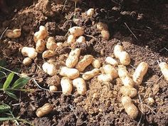 Grow your own peanuts at home!