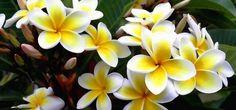 melhores plantas de proteção espiritual jasmim Plantar, Feng Shui, Floral, Exterior, Health, Flowers, Play 1, Arch, Gardening