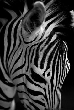 #zebras for Carcinoid