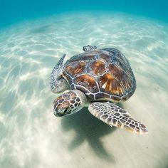Sea Turtle Turtle Life, Sea Turtle Art, Baby Sea Turtles, Cute Turtles, Turtle Baby, Sea Turtle Pictures, Animal Pictures, Colorful Fish, Tropical Fish