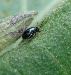 Flea beetle on an Okra plant - Philippines