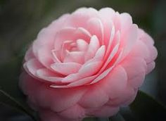 Camellia promotes the healing of scars, is soothing to irritated and dry skinIt is said to be the ancient beauty secret of the geishas, creating the smoothness of their hair  and has been recognized for centuries in Eastern Asia for its highly restorative and rejuvenating effect on skin.  High in squalene and essential fatty acids. It has anti bacterial and anti fungal properties. Fantastic in skincare blends and hair masks.