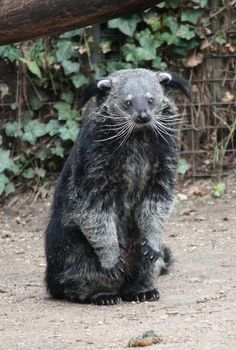 These animals are also called Bear-Cats but aren't closely related to either. They're found in Southern Asia and are known to chuckle when they're happy and smell like buttered popcorn.  Binturong - Endangered Animal - Vulnerable