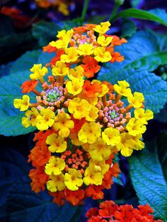 Shooting FIREWORKS -- That's what Lantana always reminds me of - especially those that shoot out yellow and dark orange florets from the central crown of orange rays. Lantana is a VERBENA family flower, with ~150 species of perennial flowering plants.#DdO:) MOST POPULAR RE-PINS - http://www.pinterest.com/DianaDeeOsborne/flowers-beyond-expected - Fruit loops color centers! Leaves are usually more green than this photo pin via Katie Bridges