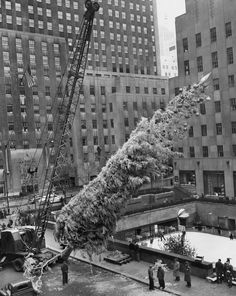 """The Lively Morgue: Nov. 28, 1949: The annual raising of the Christmas tree at Rockefeller Center. It was 76-footer, eventually adorned with 7,500 lights and 500 plastic globes, but not before getting sprayed with """"a war-time product — a white camouflage paint. Two hundred gallons of this sufficed to give the seventy-five-year-old tree its silvery appearance,"""" reported The Times. Photo: William C. Eckenberg/The New York Times"""