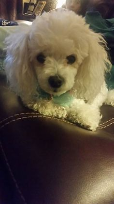 Thank you Yolie for sharing with The Poodle Patch Community... and little Dutchess looks like a very cute love bug...
