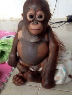 Baby Orangutan Named Budi Thrives After Rescue  He was left deformed after being crammed into a chicken coop for most of his life & is recovering after being rescued by a UK Animal Charity, 'International Animal Rescue' on 9th Feb 2015