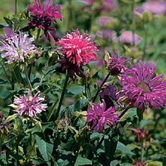 Bee Balm Seeds available from www.vermontwildflowerfarm.com