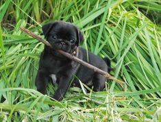 Baby pug fetches big stick