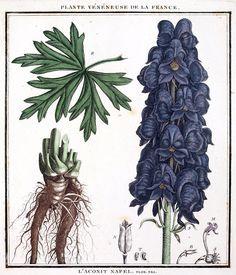 Aconitum. Deadly Plants, Poisonous Plants, Blue Flowers, Wild Flowers, Plant Sketches, Wolfsbane, Herbaceous Perennials, Planting Flowers, Flowering Plants
