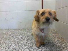 This DOG-ID#A469601  I am a male, brown and cream Terrier and Dachshund - Wirehaired mix. Shelter staff think I am about 2 years old. I have been at the shelter since Jul 22, 2014.  If you are my owner, you must physically come to the shelter to claim me. We are located at 333 Chandler Place, San Bernardino, CA 92408. Our Lost & Found hours are Tuesday-Saturday 10:00 am to 5 pm.