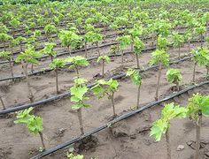 Некоторые считают, что виноград в первый год жизни нужно только поливать каждую неделю и больше ничего делать не надо. На самом деле не все так радужно. Виноград приходится даже в первый год поливать,…