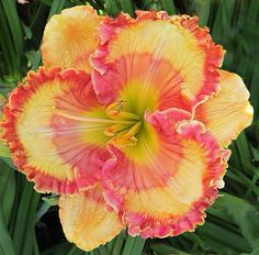 Daylily 'Check Me Out'