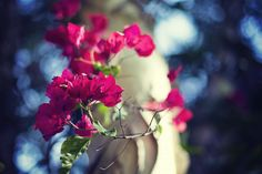 😲 Shallow Focus Photgraphy of Pink Bougainvillea Flower - download photo at Avopix.com for free    🆓 https://avopix.com/photo/51524-shallow-focus-photgraphy-of-pink-bougainvillea-flower    #pink #flower #petal #flowers #blossom #avopix #free #photos #public #domain