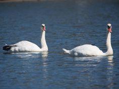 Swans | Trent's World (the Blog)
