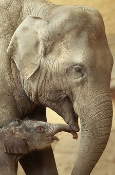 One-day-old female Asian elephant baby (Elephas maximus) contacts its mother Lai Sinh in their enclosure in the Hagenbeck Zoo in Hamburg, Friday April baby has no name yet. Asian Elephant, Elephant Love, Mundo Animal, My Animal, Beautiful Creatures, Animals Beautiful, Elefante Dumbo, Baby Animals, Cute Animals