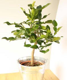 kaffir lime tree in a metal pail - Kaffir Lime Tree