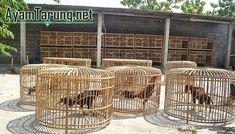 agen adu ayam, sabung ayam terpercaya, agen s128.net, adu ayam terpercaya, daftar sabung ayam, sabung ayam pw, sabung ayam termurah, agen s128.net, judi ayam s128, situs s1288 online, Love Birds Pet, Chicken Cages, Bangkok, Ss, Garden, Birdcages, Lockers, Chicken Coops, Garten