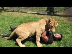 Lion Reacting To Her Old Caretaker From A Smaller Sanctuary Visiting Her In Her New Sanctuary. Beautiful.