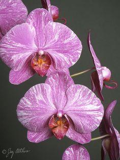 Phalaenopsis Hybrids – Orchid Photo Page Moth Orchid, Phalaenopsis Orchid, Orchid Seeds, Orchids Garden, Beautiful Flowers, Beautiful Models, Painting Inspiration, Tulips, Flower Arrangements
