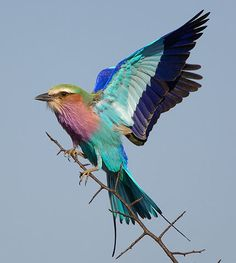 ..Lilac-breasted Roller..