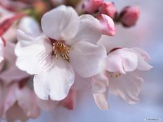 """Купить """"Цветок сакуры"""" брошь - розовый кварц, розовый цветок, розовый, розовая брошь"""
